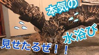 大好きなお風呂..?!フクロウのガチ水浴び[My favorite bath ..? ! Basking in an owl Bathing]