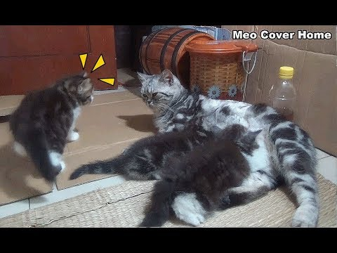 Mom Cat Feeding Cute Meowing Kittens | Meo Cover Home !
