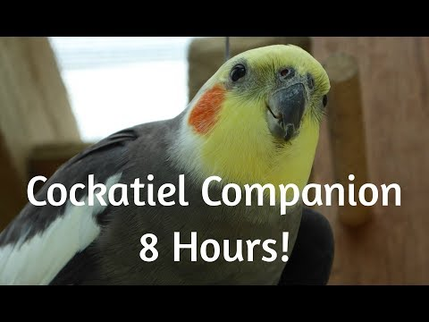 Cockatiel Companion 8 HOURS OF COCKATIELS!!! Mega Compilation