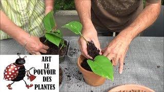 Conseils jardinage: Pothos (scindapsus) Comment faire une bouture et arrosage: Plante verte