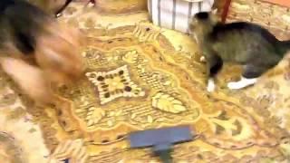 Эрдельтерьер нападает на пылесос