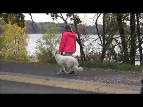 Elsa (Berger Blanc Suisse) - Boot Camp Dog Training Demonstration