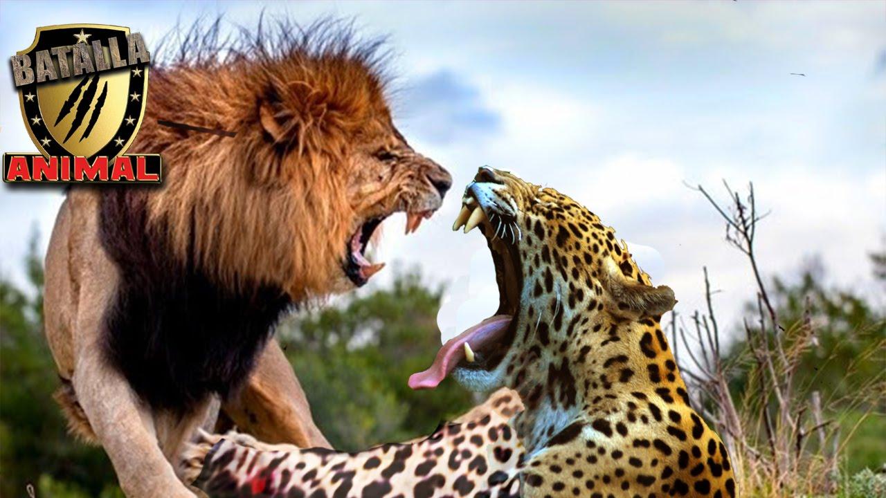 Leon vs Leopardo batalla a muerte   Lion vs Leopard battle ...