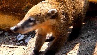 Животные Южной Америки: носуха или коати ( coati ). Странные животные мира.