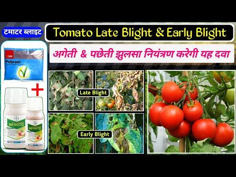 Tomato Late Blight | Early Blight | Bayer Infinito | Basf Polyram | Fungicide | अगेती & पछेती झुलसा