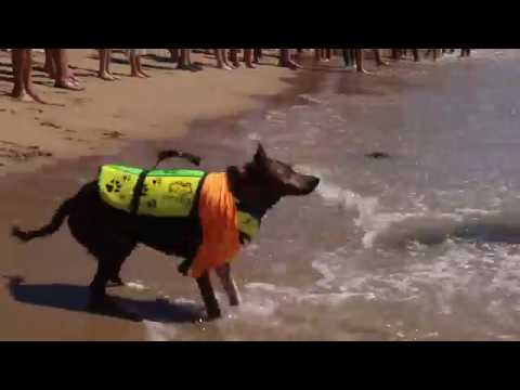 CUTE Dogs Surfing ~ Huntington Beach 2018 (Surf City!!)