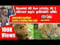 සිංහ පැටවෙකු කිරි දී බේරාගත් අපූරු අම්මා | Labrador mother saves a dying lion cub | Pet Talk