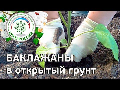🍆 Как посадить баклажаны через рассаду. Выращиваем баклажаны.