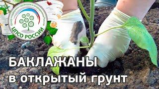 Выращиваем баклажаны. Как посадить баклажаны через рассаду.(В этом видео - практическая инструкция посадки рассады баклажанов в грунт на постоянное место. Как подготов..., 2016-05-19T09:56:57.000Z)