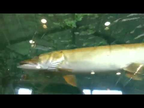 Bass pro shops fish tank youtube for Bass fish tank
