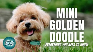 Mini Goldendoodle  Dog Breed Information | Dogs 101  The Miniaturesize Goldendoodle