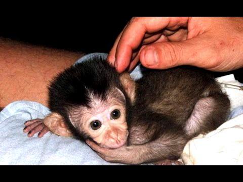 Приколы с обезьянами (1,3 мб) - 26 Февраля 2013 - Смешное