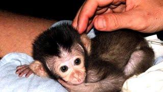 Маленькие Обезьянки - смешные и милые дети обезьян Видео  [NEW HD](Ребенок обезьяны, безусловно, такой милый животный. Если вы хотите увидеть видео милых маленьких обезьян..., 2016-01-04T14:51:06.000Z)