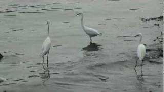 Crane birds on fish hunting at Mahe river shore
