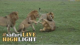 Young lion gets a beating when trying to join a coalition