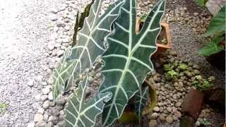 Horse faced plant - Alocasia Polly - African Mask Plant - Alocasia metallica - Alocasia amazonica