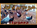مشروع تربية الدجاج البلدي(دجاج عرب)