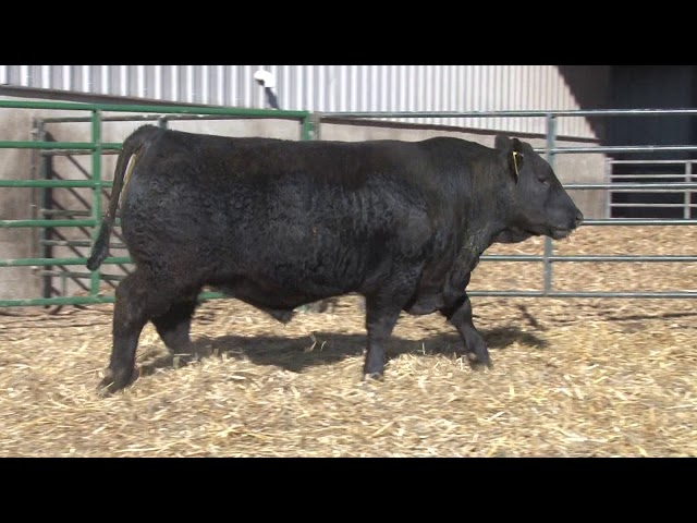 Schiefelbein Angus Farms Lot 225