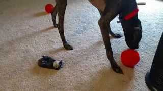 How To Keep A German Shorthaired Pointer Entertained!