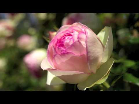 Eden Rose, Cl. (Pierre de Ronsard) ピエール・ドゥ・ロンサール