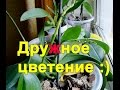 орхидеи фаленопсисы фото