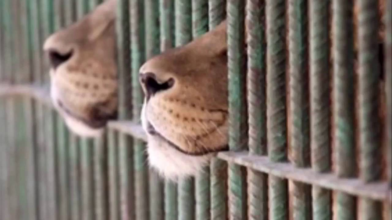 animals shouldnt be kept in zoos essay Zoos are an unsuitable environment for wild animals and should, therefore, be abolished firstly, zoo animals are kept in a very confined area.