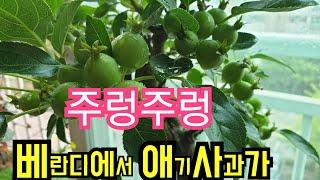 애기사과 주렁주렁베란다정원 야생화키우기야생화짱067