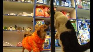 Манчкин: кошка-такса . Все О Домашних Животных.