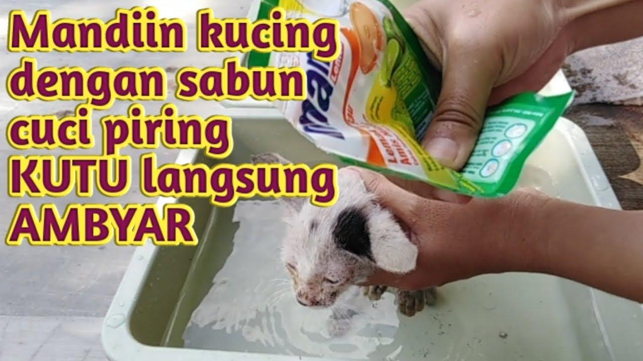 Kucing Mandi Dengan Sabun Cuci Piring Kutu Ambyar Dan Mati Seketika Youtube