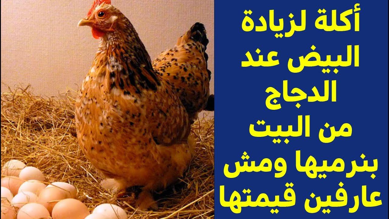 أكلة بتزود البيض من البيت بنرميها ومش عارفين قيمتها للدجاج وبتخلي الدجاج يبيض كل يوم كتير دون انقطاع Youtube