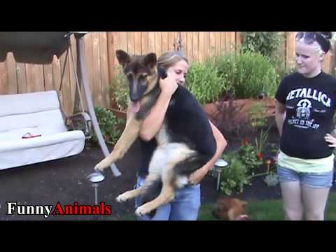 Cute and Funny Big Dogs Thinks They're Lap Dog Compilation 2017