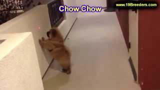 Chow Chow, Puppies For Sale, In, Nashville, Tennessee, Tn, County, 19breeders, Knoxville, Smith