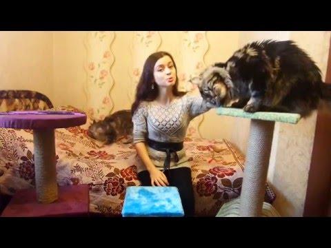 Как выбрать когтеточку для мейн-куна? приучить котенка к когтеточке?/питомник  ЛИРИКУМ