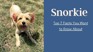 Top 7 Snorkie Facts You Want to Know About |  Miniature Schnauzer and a Yorkshire Terrier Mixes