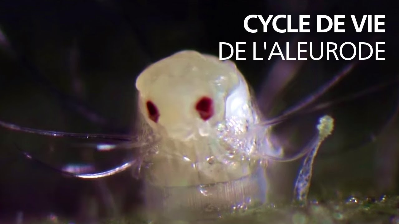Comment Se Débarrasser Des Petite Mouche cycle de vie de l'aleurode (trialeurodes vaporariorum)