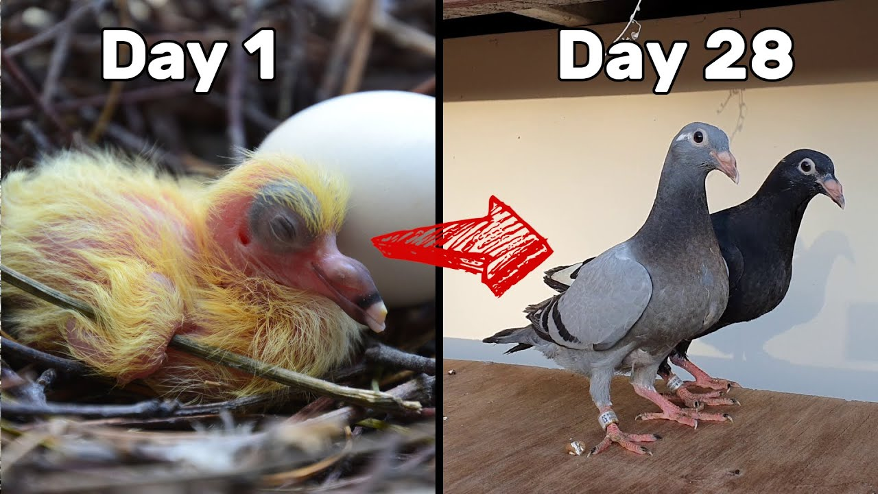 Baby Pigeons Growing | Four Weeks Day by Day - YouTube