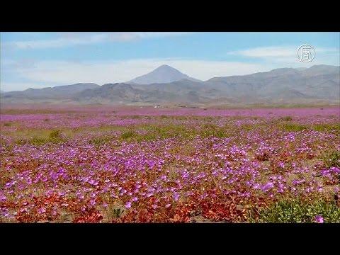 Зацвела самая засушливая пустыня планеты Атакама (новости)