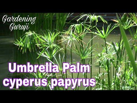 how to grow and care umbrella Palm  cyperus papyrus