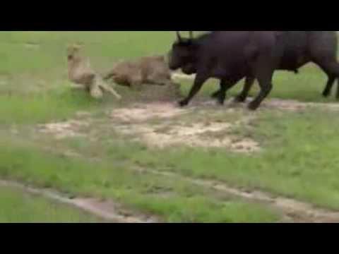 Trâu rừng húc văng 2 sư tử cái