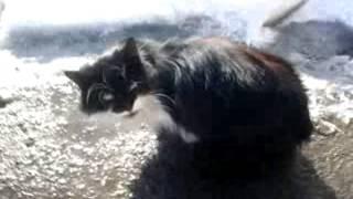 кот чёрно-белый