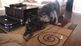 Labradoodle Attacks A Dutch Shepherd - Texas Dog Training - On The Ball K9 Training