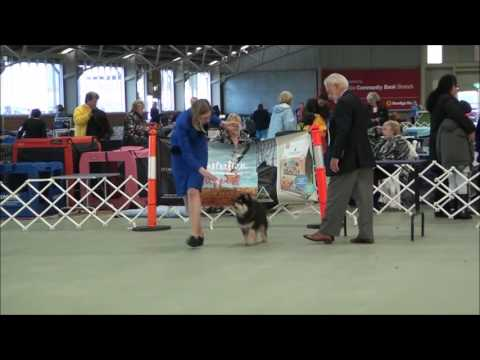 Loki - Finnish Lapphund - Best Baby Puppy in Show - 25 June 2016