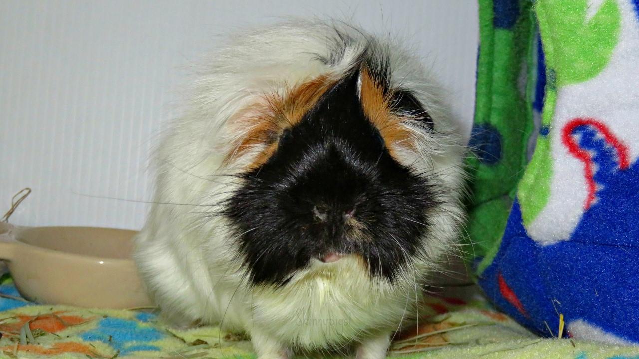 quad update 1 week 4 guinea pigs bonded  youtube