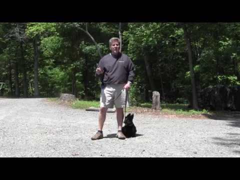 connor---scottish-terrier---dog-training-winston-salem-nc