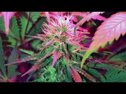 Mojo Nixon -  I Like Marijuana
