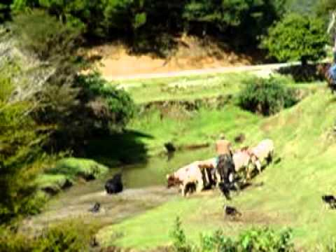 Part 2  Mustering Wild Bulls in Northland New Zealand