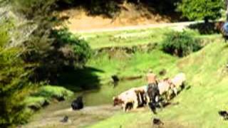 Part 2  Mustering Wild Bulls In Northland New Zealand