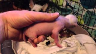 Chinese crested puppies 1 day old
