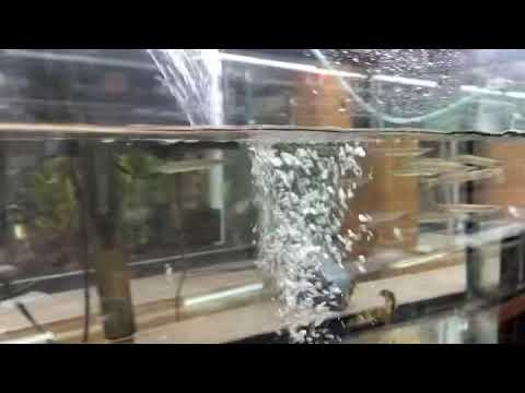 Hujeta Gar - Rocket Gar (Freshwater Needlefish Barracuda)