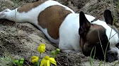 Объявления о продаже взрослых собак и щенков: немецкие овчарки, лабрадоры, хаски, чихуахуа, джек рассел терьеры, бульдоги, шпицы по доступным.
